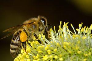 Biene Sammelt